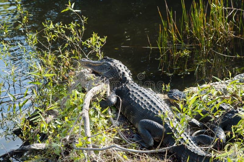 Deux alligators au parc national de marais images libres de droits