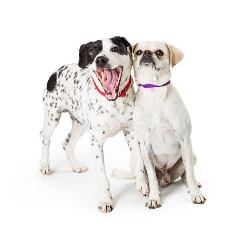 Deux amis drôles de chien ensemble photographie stock libre de droits