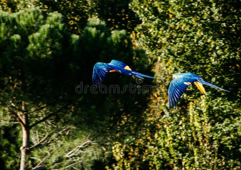 Deux aras volant avec un fond vert de forêt image stock