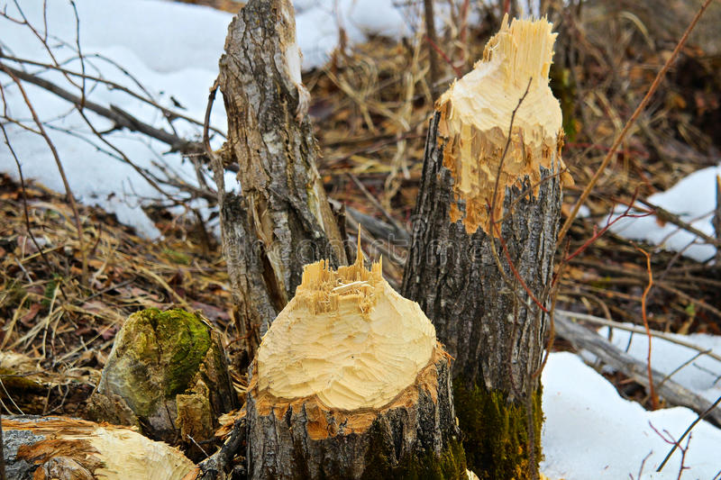 Deux arbres abattus par des castors avec la neige à l'arrière-plan images libres de droits