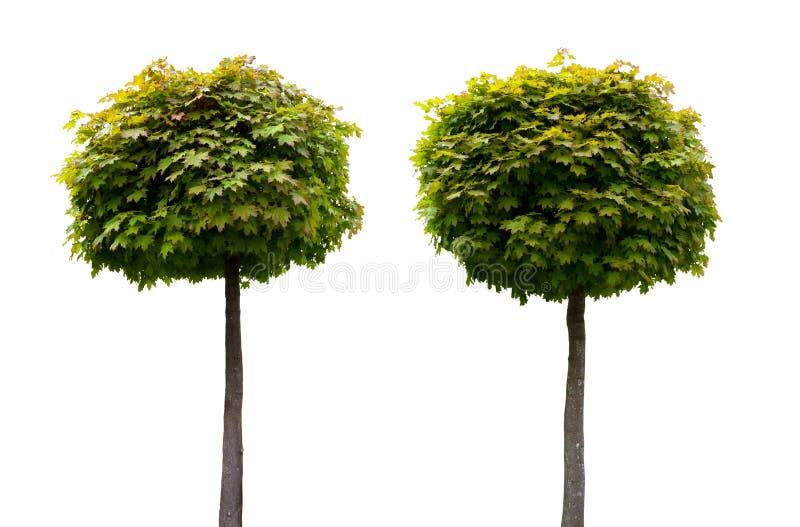 Deux arbres d'érable ornementaux d'isolement sur le blanc photos stock