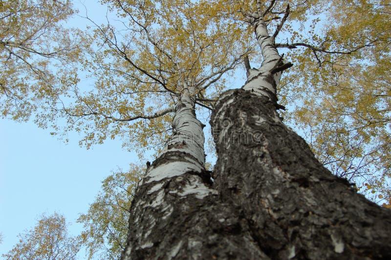 Deux arbres de bouleau avec la vue de bas en haut de feuilles jaunes photo stock