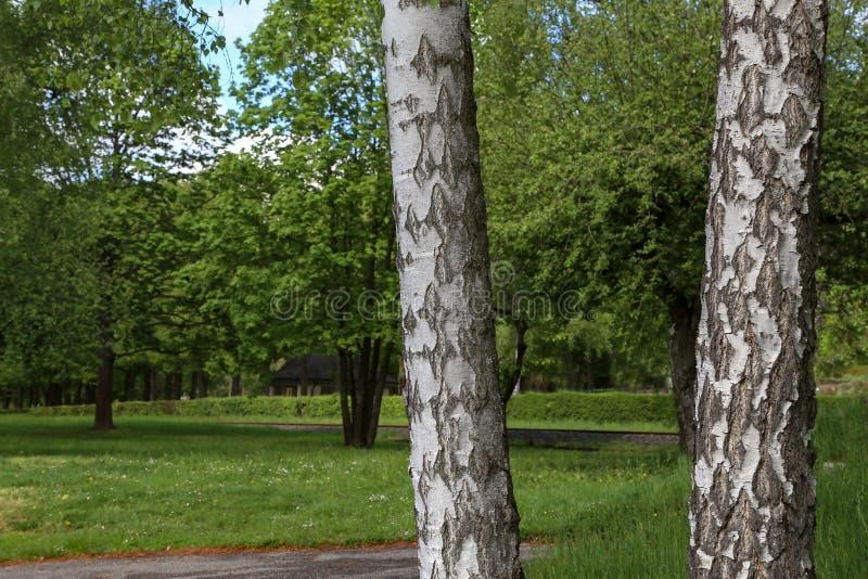 Deux arbres de bouleau se tiennent en parc de ville photographie stock