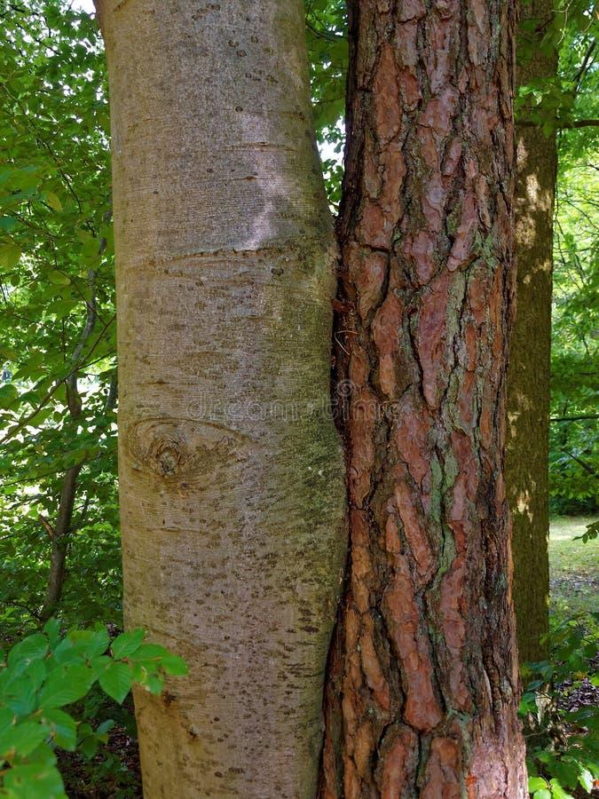 Deux arbres différents jointifs ensemble photo libre de droits
