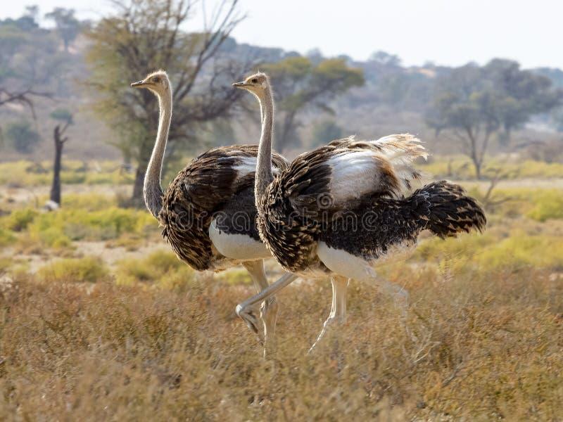Deux autruches masculines marchent par en parc national franchissant les frontières de Kgalagadi entre l'Afrique du Sud, la Namib photos libres de droits