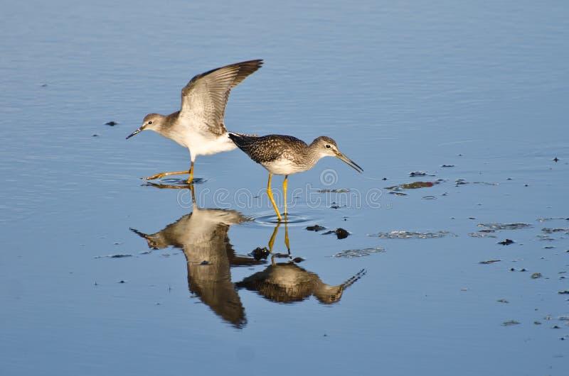 Deux bécasseaux en eau peu profonde photographie stock libre de droits