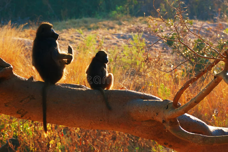 Deux babouins de chacma photographie stock