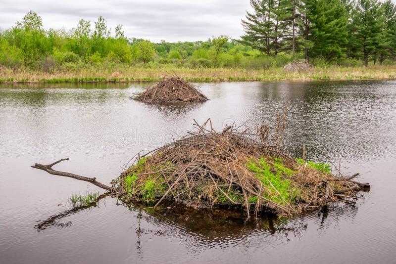 Deux barrages de castor dans la forêt photos libres de droits