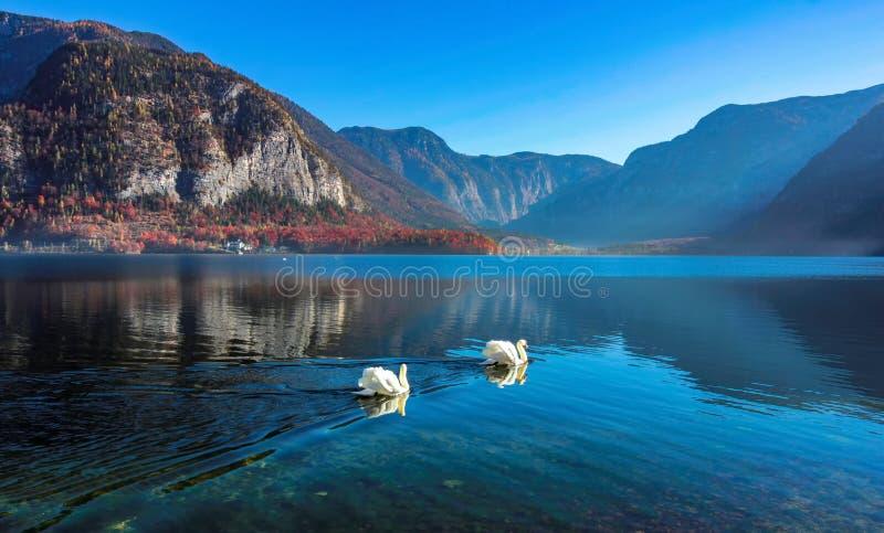 Deux beaux cygnes dans le lac cristal de Hallstatt avec des montagnes photos stock