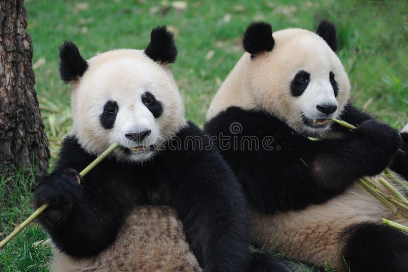 Deux beaux pandas mangeant le bambou image stock