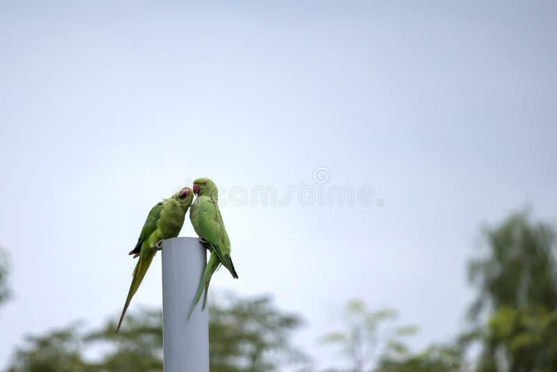 Deux beaux perroquets image stock