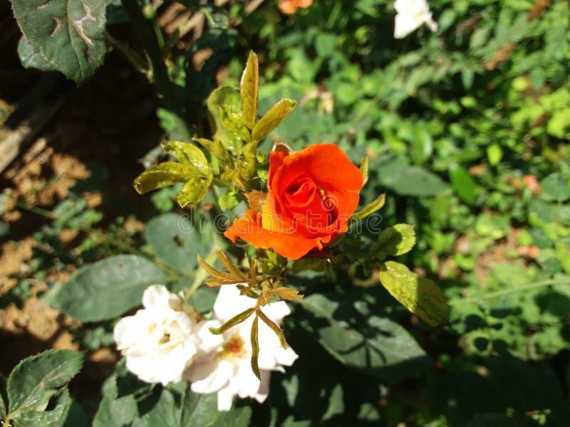 Deux belles fleurs image stock