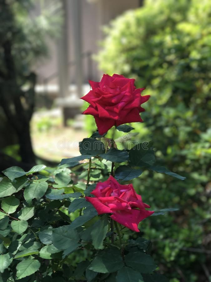 Deux belles roses image stock