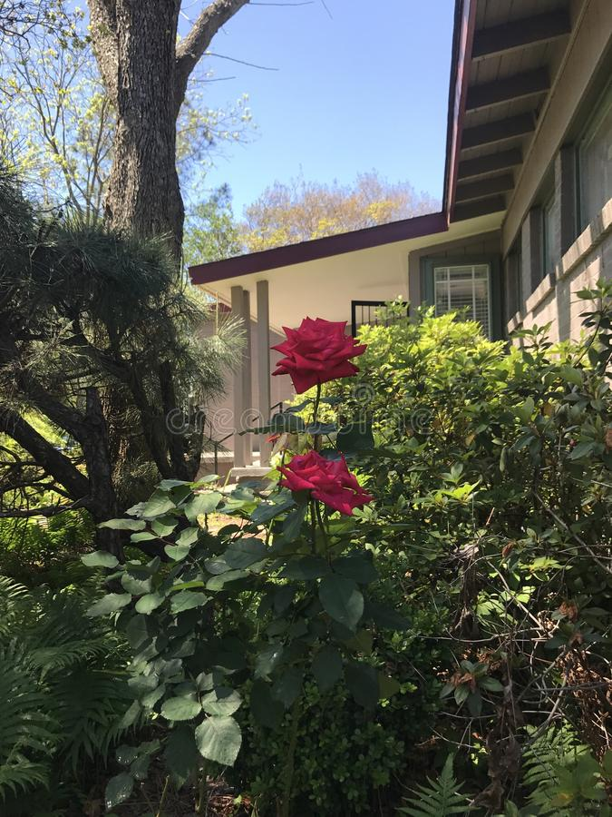 Deux belles roses photographie stock