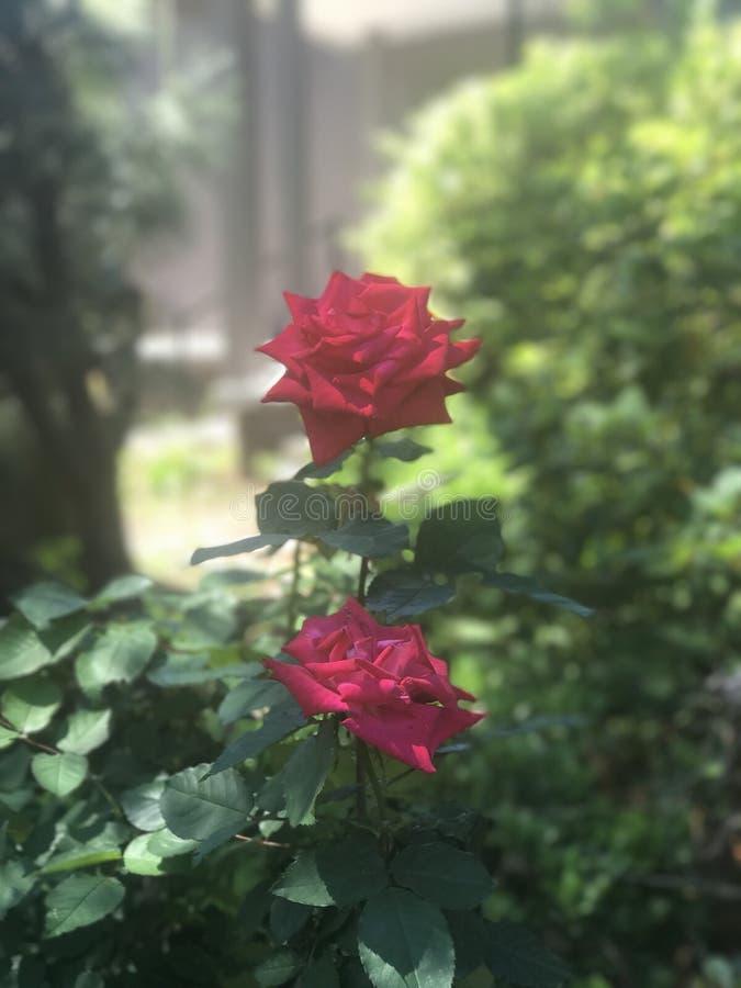 Deux belles roses photos stock