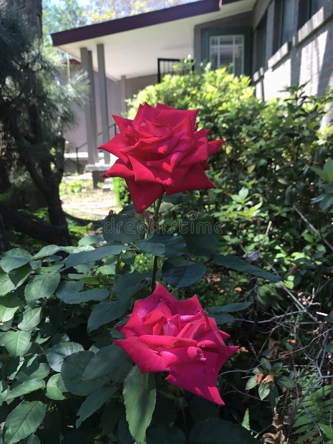 Deux belles roses photos libres de droits