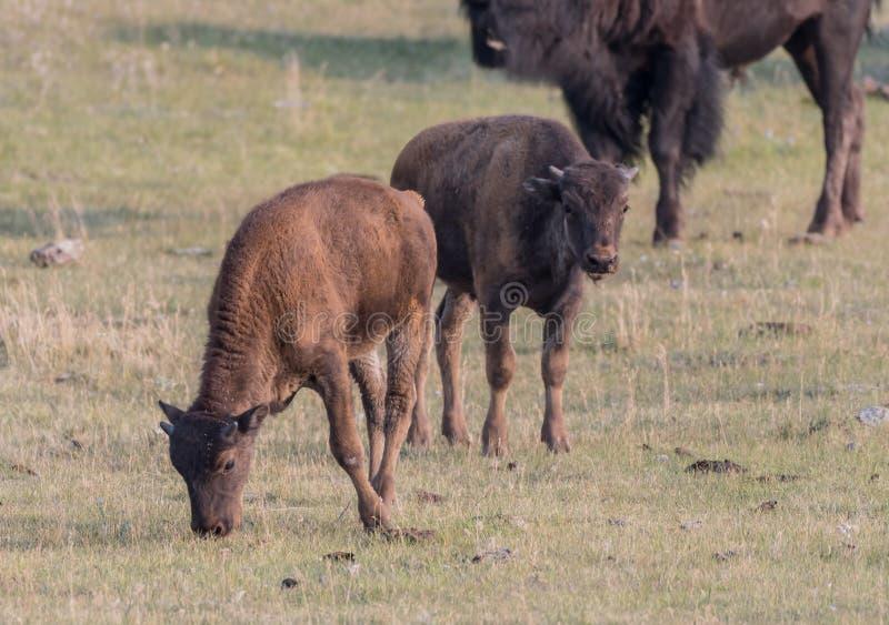 Deux Bison Calves Graze images libres de droits