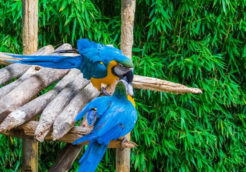 Deux bleus et oiseaux jaunes de perroquet d'ara jouant ou combattant en mettant leurs becs dans l'un l'autre image libre de droits