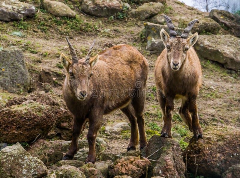 Deux bouquetins alpins se tenant l'un à côté de l'autre, animaux des montagnes de l'Europe photo libre de droits
