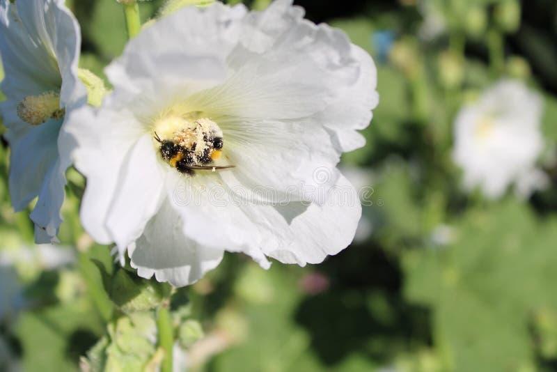 Deux bourdons dans une rose trémière blanche photos libres de droits