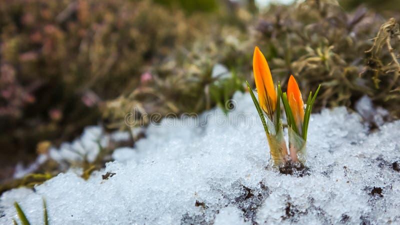 Deux bourgeons des premiers crocus de dessous le jardin de neige au printemps photo stock