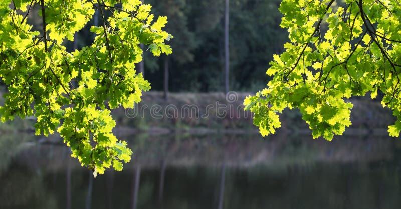Deux branches de chêne commun au soleil Quercus Robur photo stock
