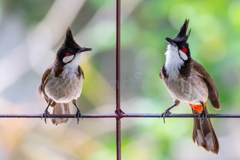 Deux bulbuls Rouge-barbus étant perché sur la barre de barrière photos libres de droits