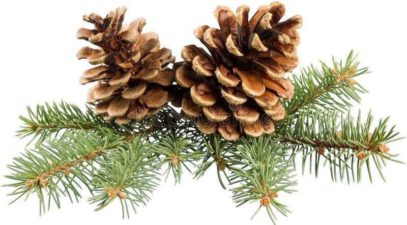 Deux cônes de pin avec la branche sur un fond blanc image stock