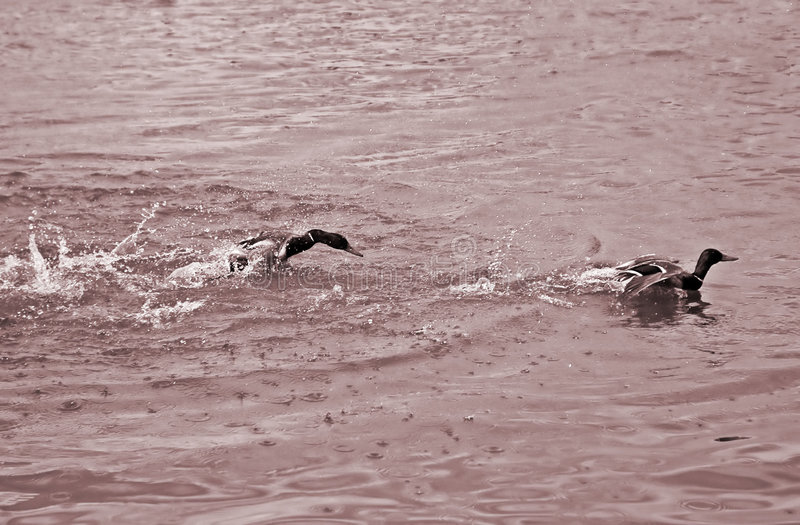Deux canards photo libre de droits