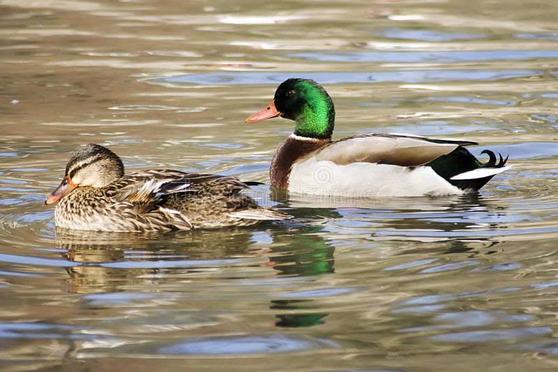 Deux canards image stock
