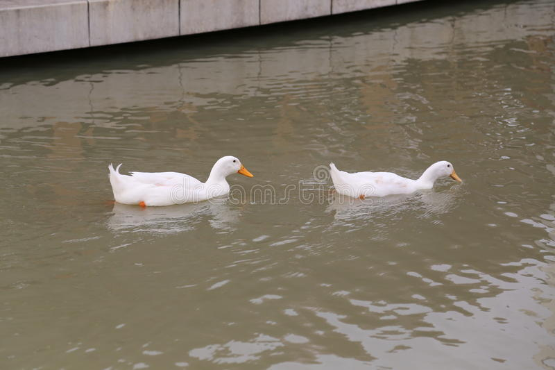 Deux canards images stock