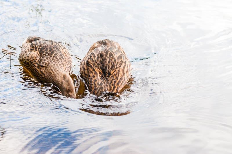 Deux canards bruns, canetons plongeant pour attraper la nourriture dans le lac près de la plage, heure du repas Espèces d'oiseaux photo stock