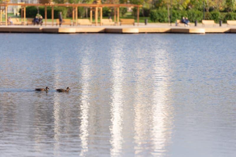 Deux canards image libre de droits
