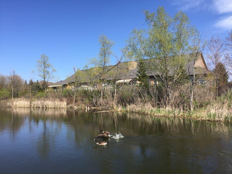 Deux canards dans un étang images stock