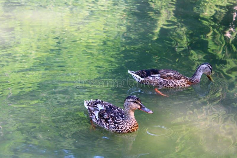 Deux canards dans un ?tang images stock