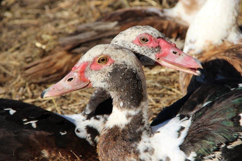 Deux canards de muscovy ont un repos dans la volaille Amitié de canard Couplez d'aimé image stock