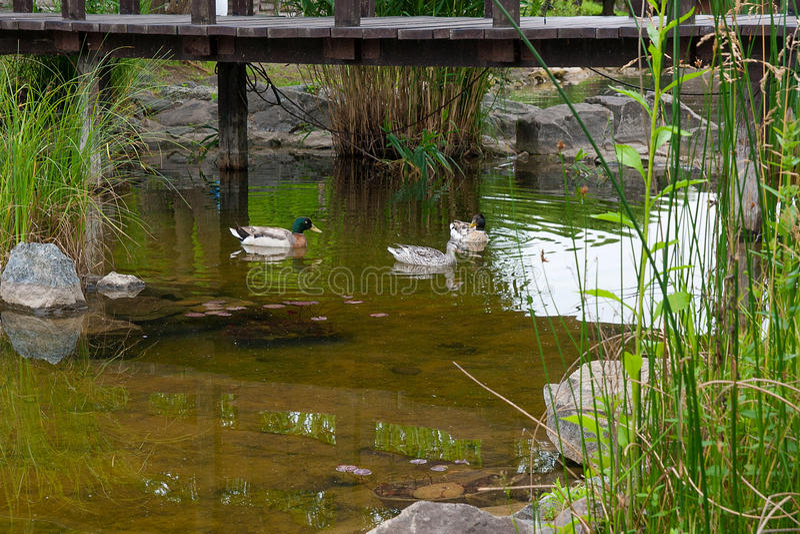 Deux canards masculins de Mallard et Mallard femelle penchent le flottement sur un pon photo libre de droits