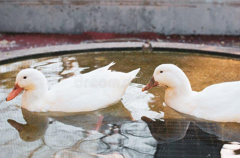 Deux canards mignons blancs nageant allègrement dans la petite piscine alimentant quelque chose image stock