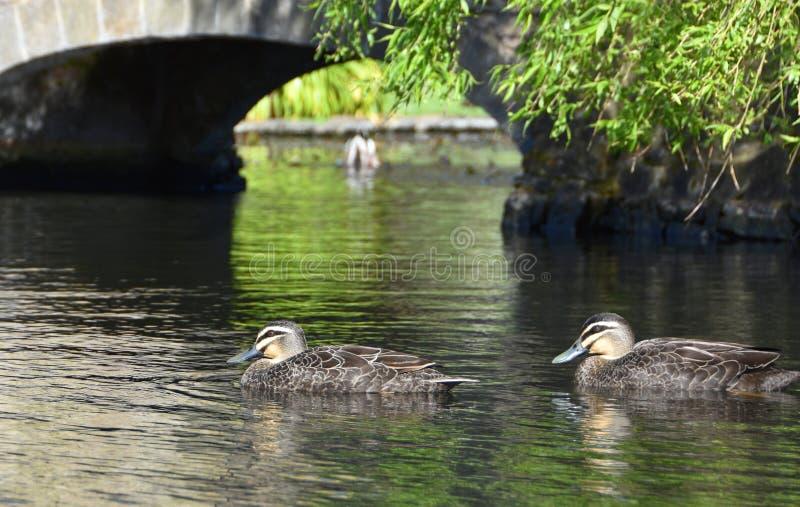 Deux canards nageant sous un pont photographie stock