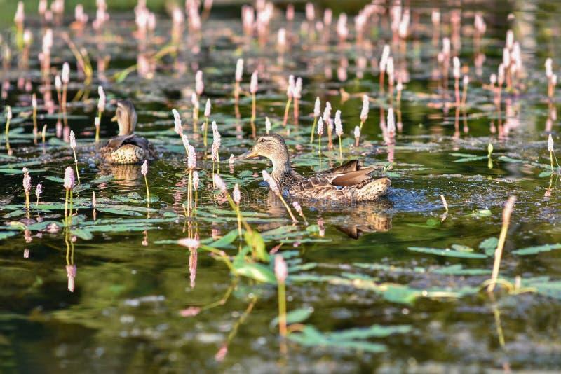 Deux canards sauvages de Mallard se cachent près du rivage du lac dans les roseaux et l'herbe images libres de droits