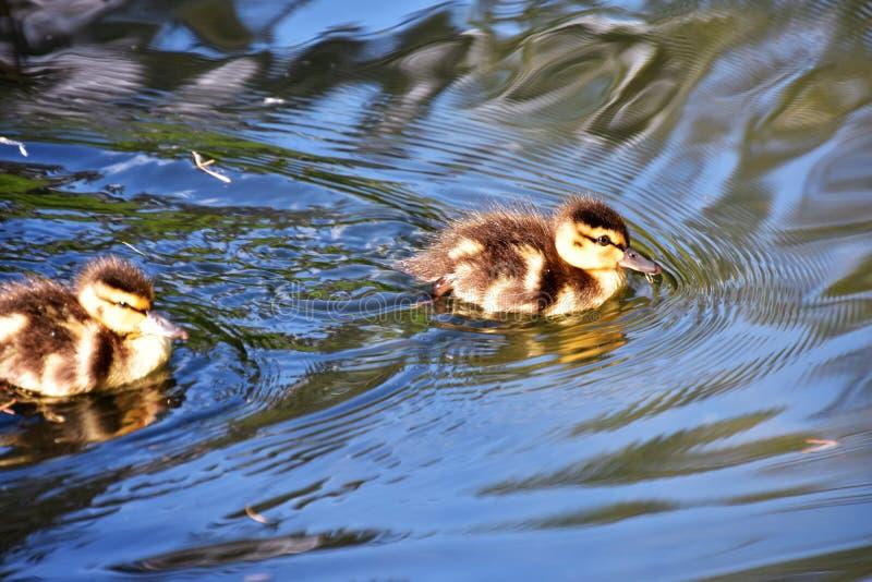 Deux canetons nagent dans l'étang photos libres de droits