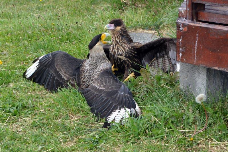 Deux Caracaras combattant en parc de Torres del Pain images stock
