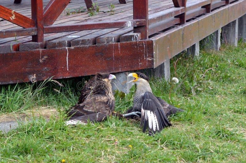 Deux Caracaras combattant en parc de Torres del Pain images libres de droits