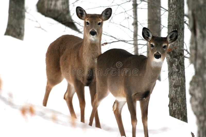 Deux cerfs communs image stock