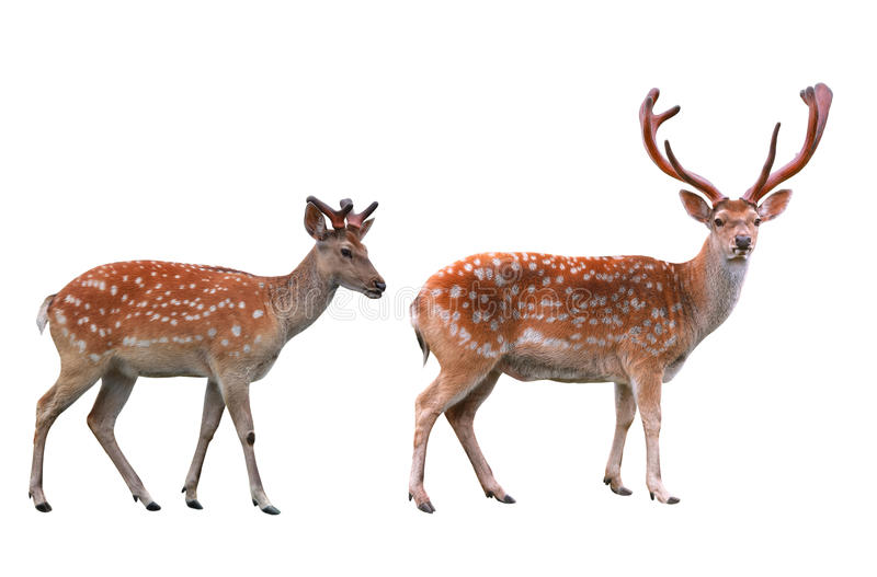 Deux cerfs communs photos stock