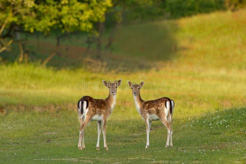 Deux cerfs communs affrichés photographie stock libre de droits