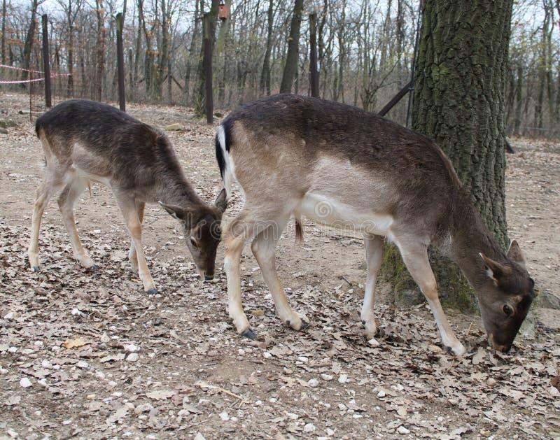 Deux cerfs communs affrichés photos libres de droits