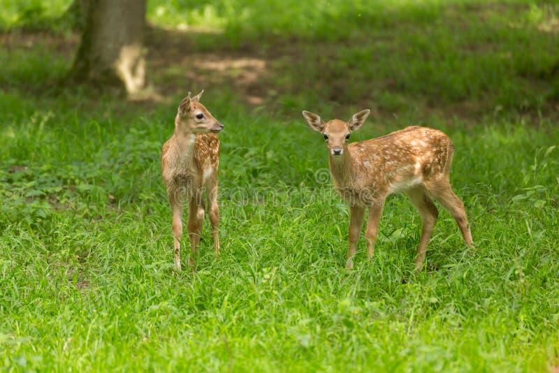 Deux cerfs communs affrichés de faon photographie stock libre de droits