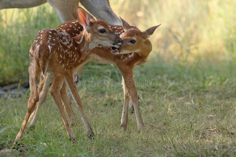 Deux cerfs communs de whitetail photo libre de droits
