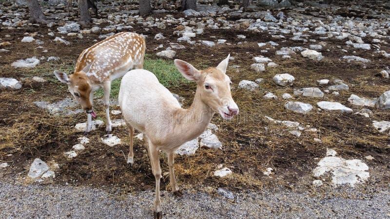 Deux cerfs communs ensemble photos stock